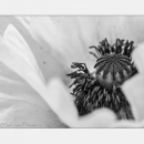 Mohn in Monochrom