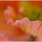 Tulpenblatt